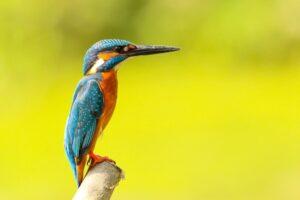 kingfisher birds images